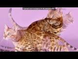 «Бенгальские котята, питомник BIG-BENG» под музыку Леди Гага - ра ра ааа  ро ма ро мама га га у ля ля )). Picrolla